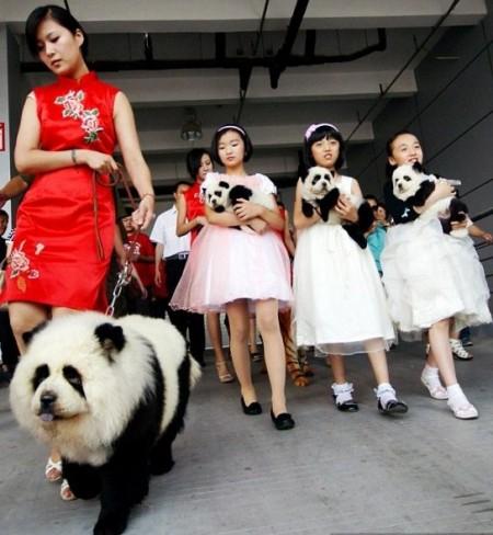 Chow Chow Dog Panda