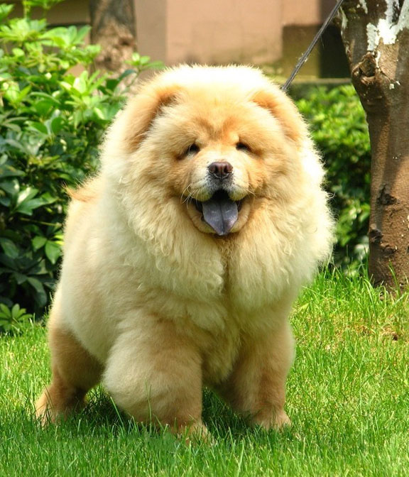 Chow Chow Dog Tongue