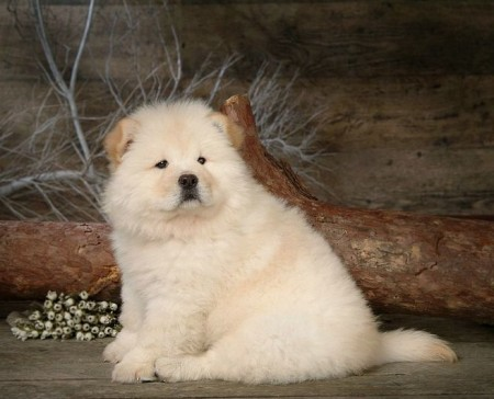 Chow Chow Dogs Pictures