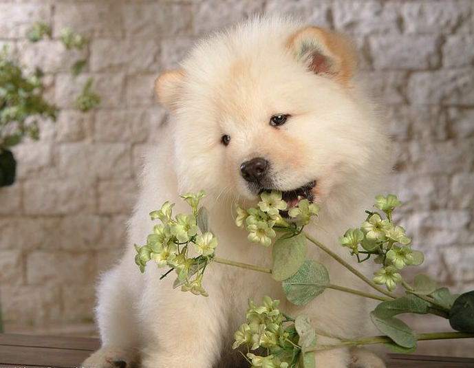 Chow Chow Puppies Pictures
