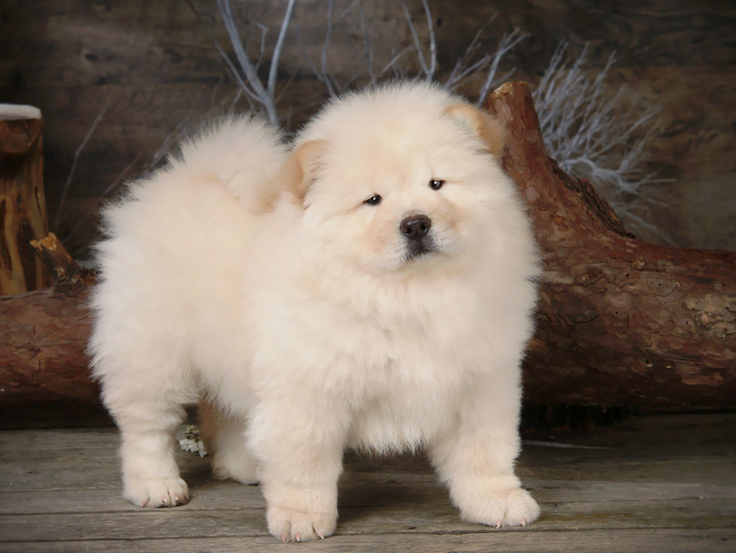 Chow Chow Puppies Wallpaper