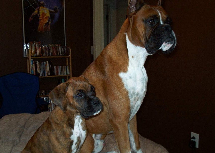 Cool Dog Tricks For Boxers