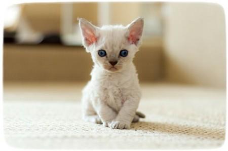 Cute Devon Rex Cat