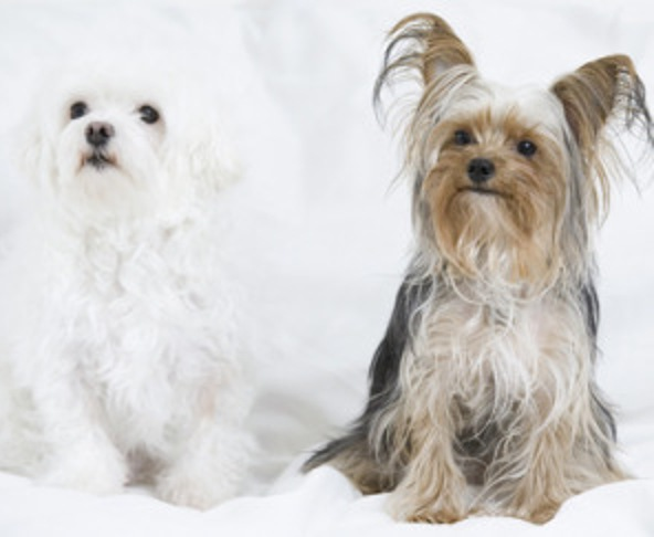 Cute Non Shedding Dog Breeds
