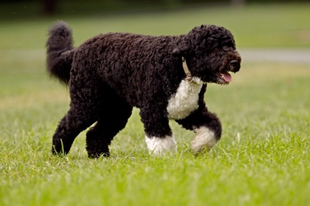 Cute Portuguese Water Dogs