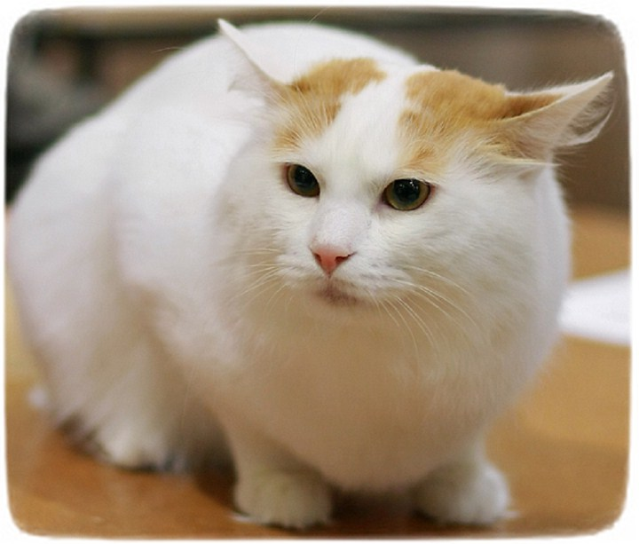 Cutest Cat Breeds Australia