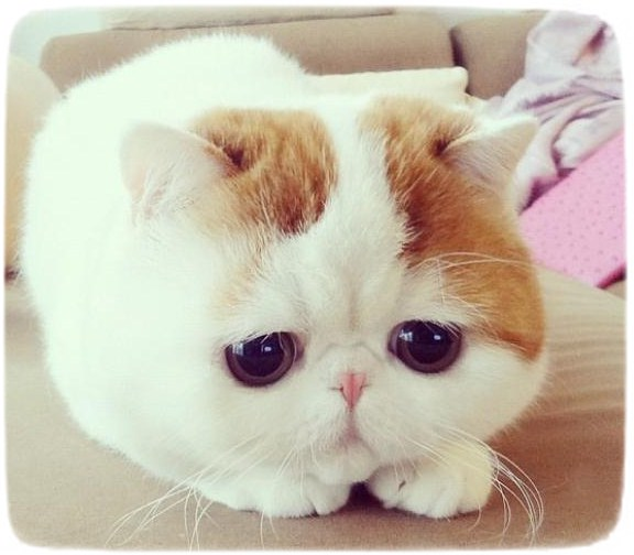 Cutest Cat Breeds Ever