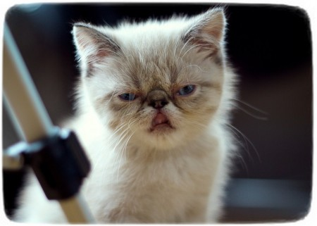 Cutest Cat Breeds List