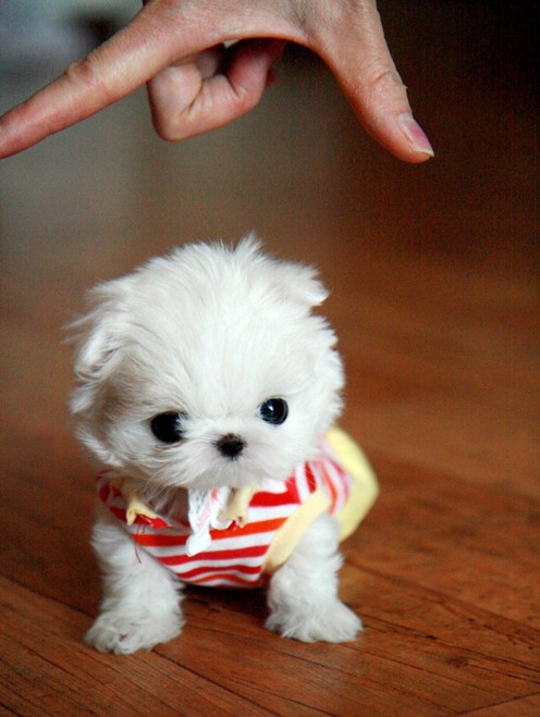 Cutest Miniature Dog Breeds