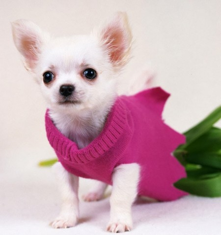 Cutest Teacup Dog Breeds