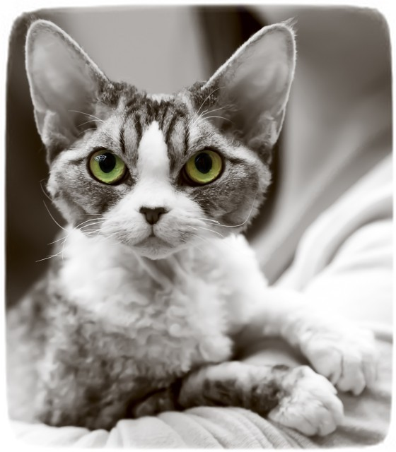 Devon Rex Cat Images