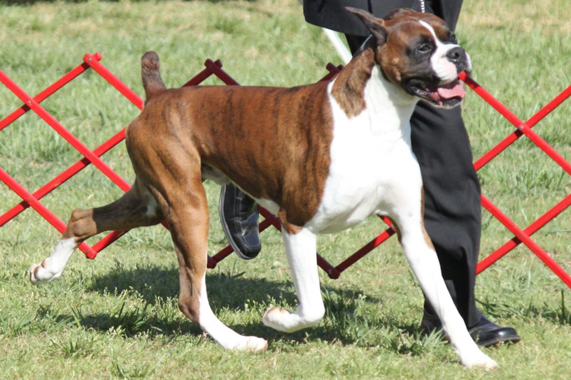 Dog Breed Info Boxer