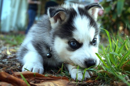 Dog Breed Info Husky