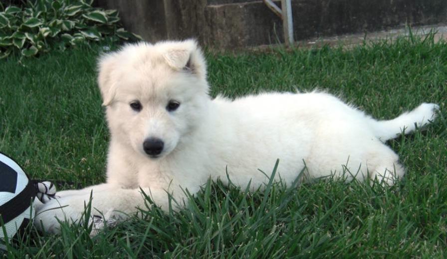 Dog Breed Info Labrador