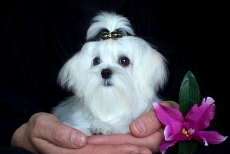Dog Breed Info Maltese