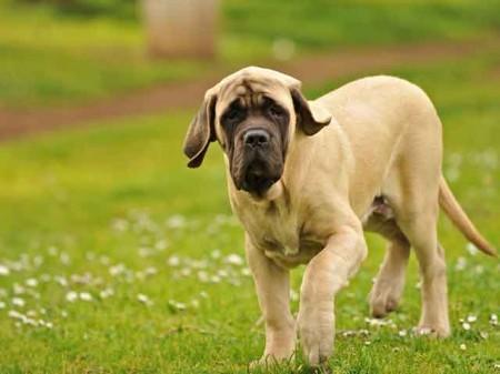Dog Breed Info Neapolitan Mastiff
