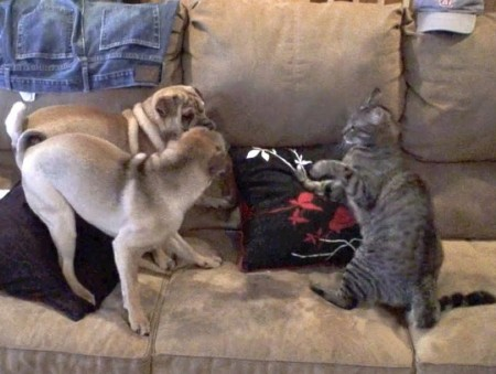 Dogs Vs Cats Fight
