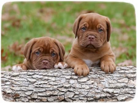Dogue De Bordeaux Puppies 8 Weeks