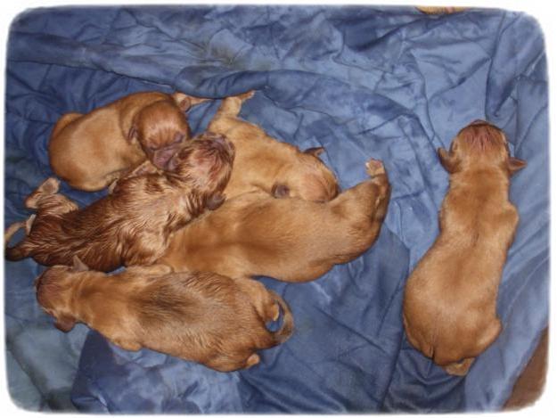 Dogue De Bordeaux Puppies 8 Weeks Old