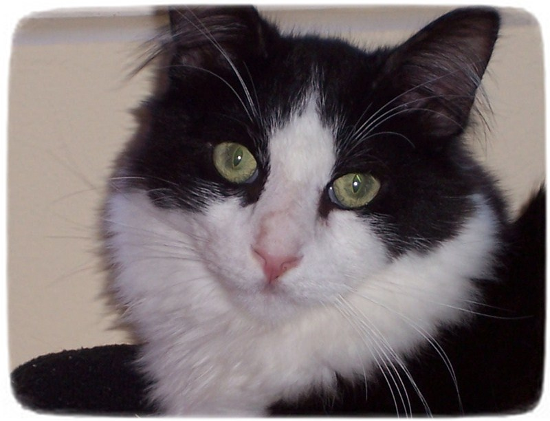 Domestic Cat Breeds With Pictures