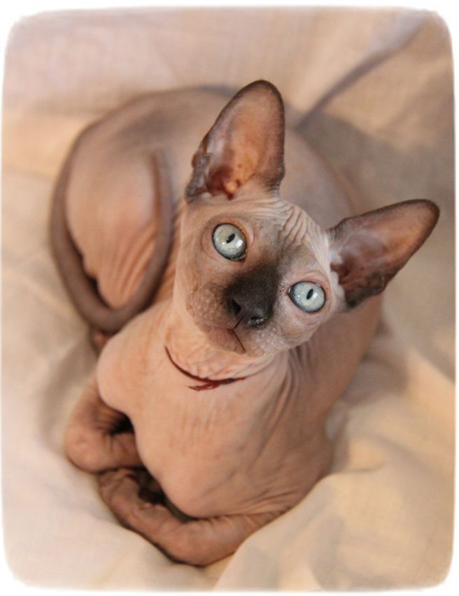 Egyptian Hairless Cat Breeds