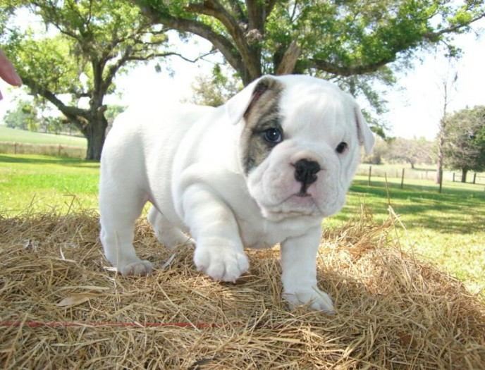 English Bull Dog Pups