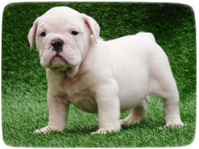 English Bulldog Puppy Pictures Cute