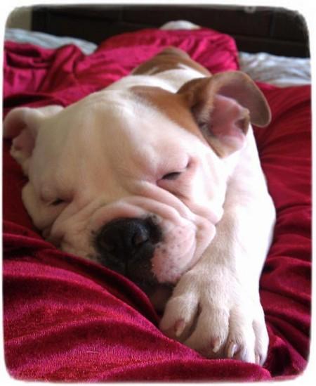 English Bulldog Puppy Sleeping