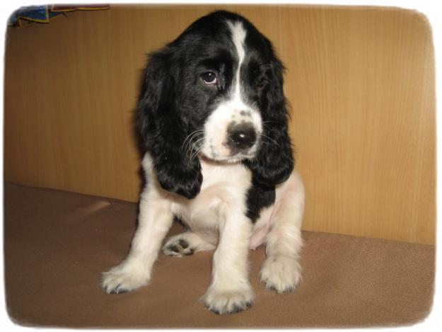 English Cocker Spaniel Puppies Black And White