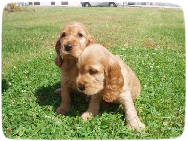 English Cocker Spaniel Puppies Brown