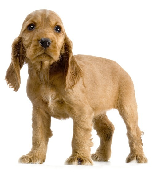 English Cocker Spaniel Puppies Golden