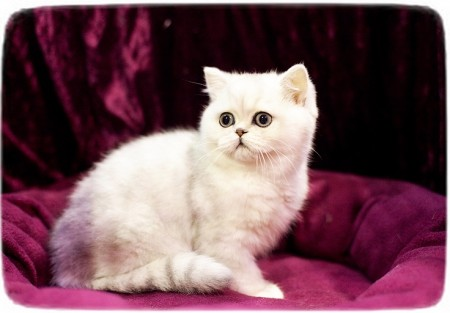 Exotic Cat Breeds Australia