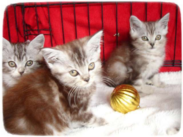 Exotic Cat Breeds For Adoption