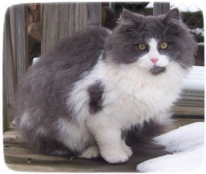 Exotic Cat Breeds List