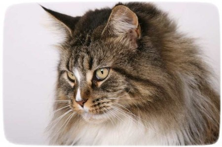 Extra Large Cat Breeds