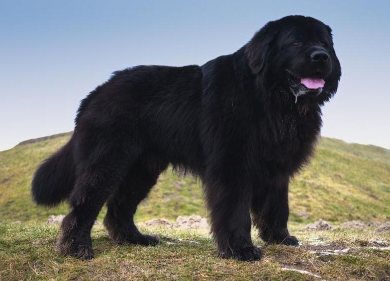 Extra Large Dog Breeds List
