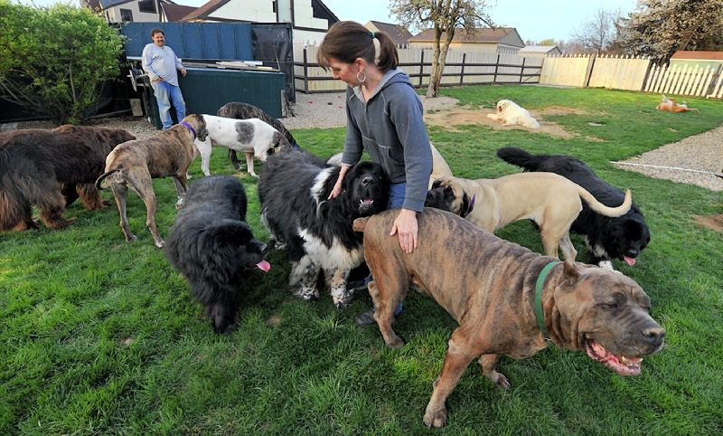 Extra Large Dog Breeds Rescue
