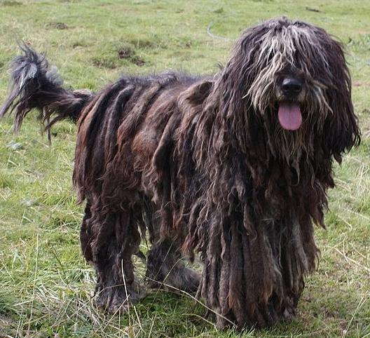 Extra Large Dog Breeds With Long Hair