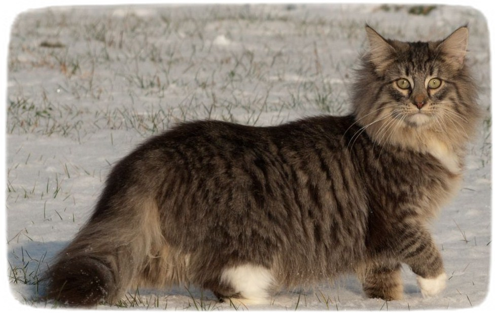 Extra Large Domestic Cat Breeds
