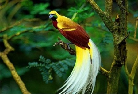 Facts About Birds Of Paradise