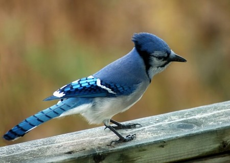 Female Blue Jays Birds