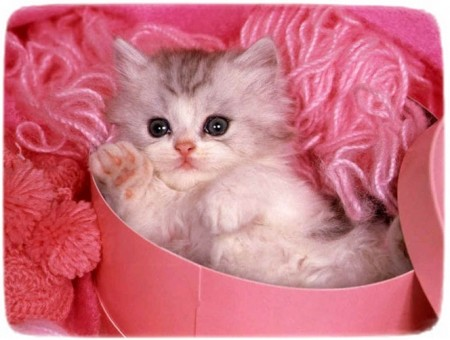 Fluffy Small Cat Breeds