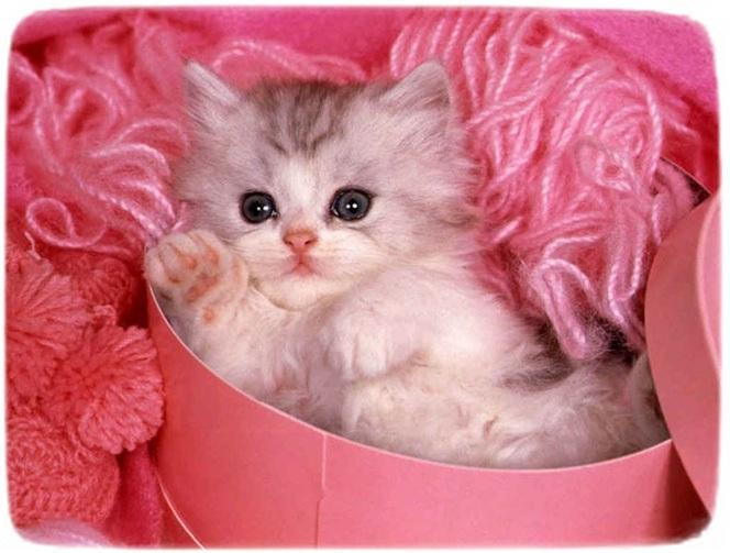 Fluffy Small Cat Breeds