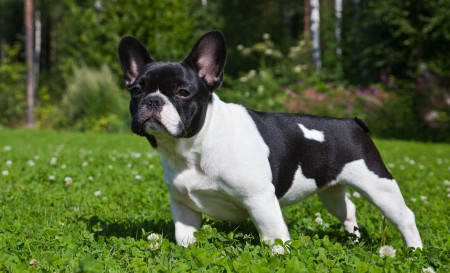 French Bull Dog Images