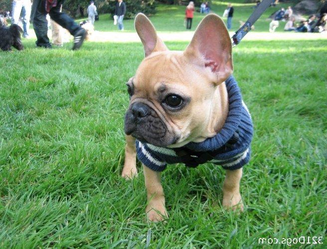 French Bull Dog Pics