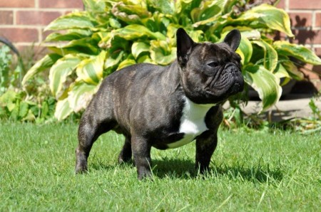 French Bull Dog Pictures