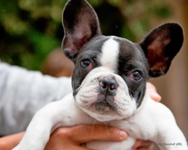 French Bulldog Mix