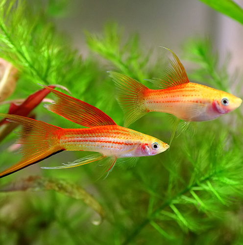 Freshwater Aquarium Fish Images