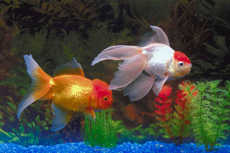 Freshwater Aquarium Fish Species