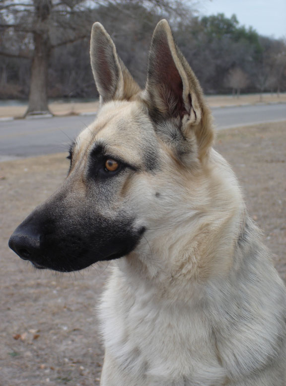 German Shepherd Dog Face